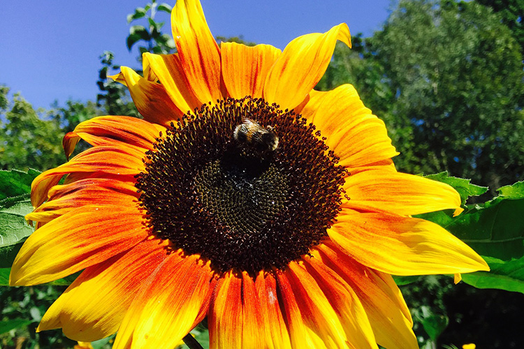AUGUST: Sunflowers at Woodpeckers