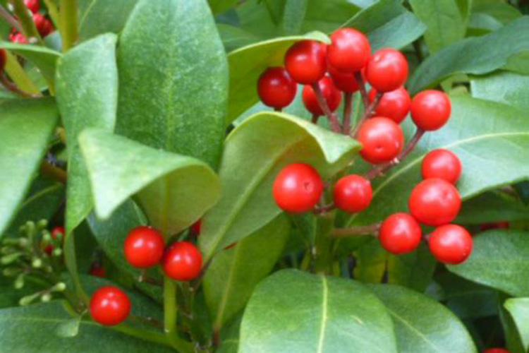 DECEMBER: Skimmia at Abbey View