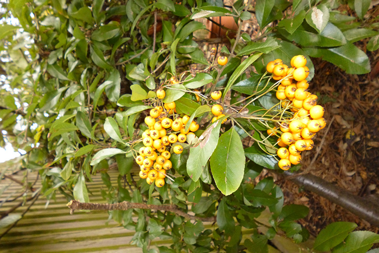 NOVEMBER: Firethorn lives up to its name at Avon Cliff