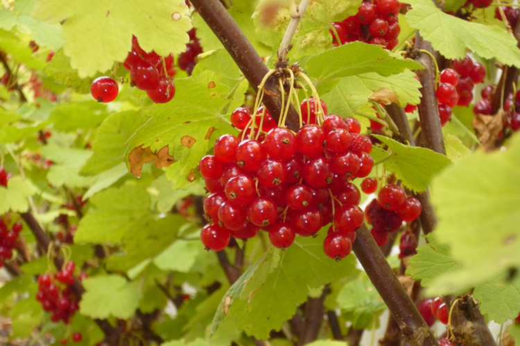 OCTOBER: Redcurrants at Newstone House